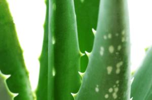 Aplicaciones del Aloe Vera