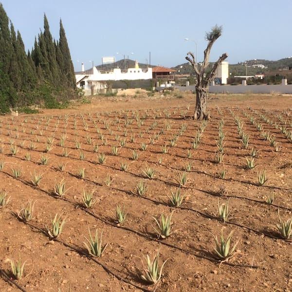 plantacion 2