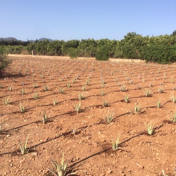 plantacion 3