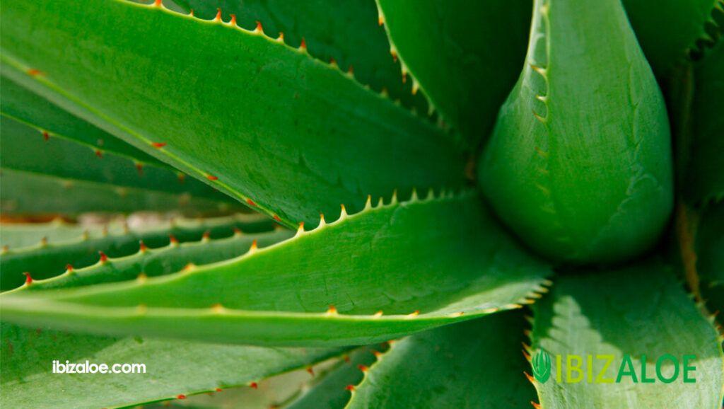 Los mejores productos de Aloe Vera para la salud