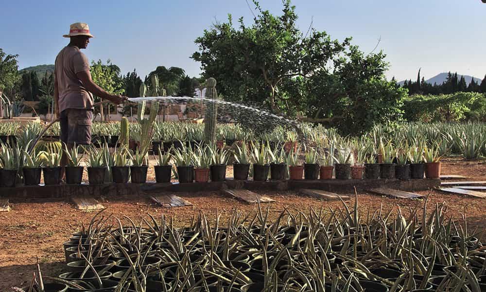 plantacion aloe vera ibizaloe