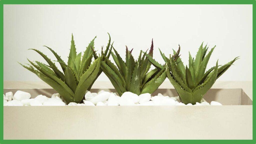 Cuantos Tipos De Aloe Vera Existen Ibizaloe