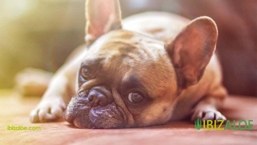 tratamientos de aloe vera para perros