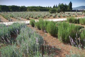 Plantacion_Aloe_dia-2_001