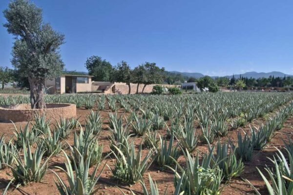 Plantacion Ibizaloe 1