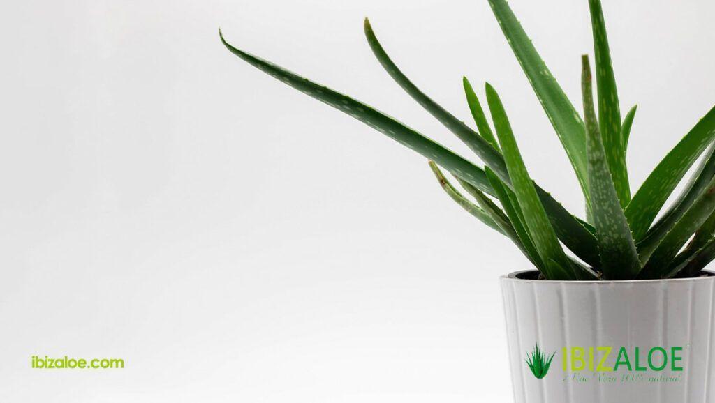 Aloe vera para las varices y arañitas