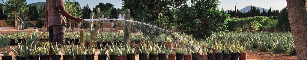 plantacion ibizaloe aloe vera