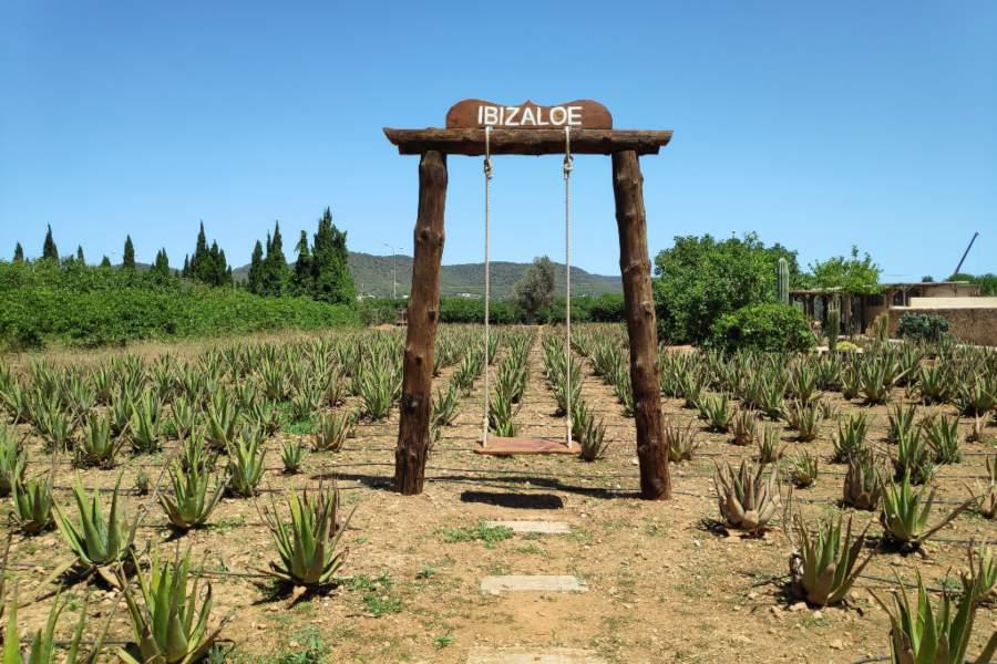 columpio plantacion aloe vera ibizaloe